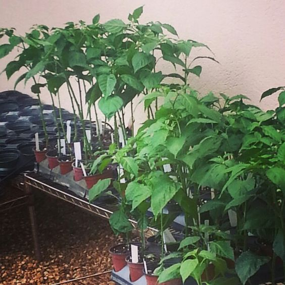 red ghost pepper plants